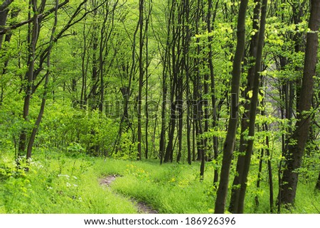 Lush green foliage, birch trees and trail in the forest in spring