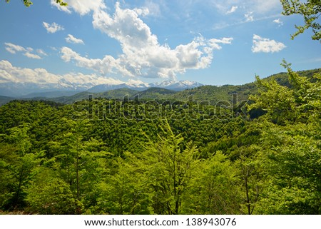 Lush green forest of beech tree glowing in afternoon light, with snowcapped high mountain range in the background. Location: Torino Province, Piedmont, Italy.