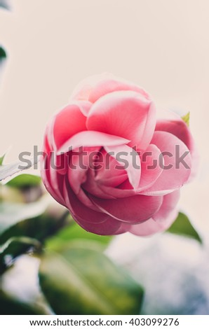 Lush green fresh blossoming pink camellia in garden - stock photo
