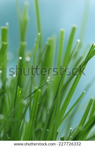 Lush green grass with dew. Shallow depth of field.  - stock photo