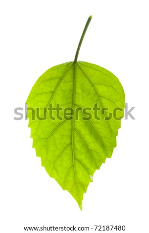 Lush green leaf isolated on white background