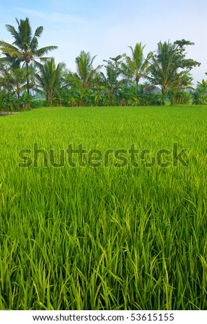 Lush green paddy field in the plains of Jogjakarta, Indonesia.