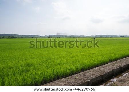 Lush green rice field - stock photo