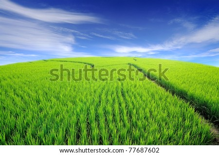 Lush green rice field and blue sky, In Asia - stock photo