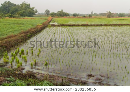 Lush green rice fields, small plots cultivated by nature. - stock photo