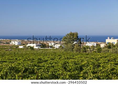 Lush green vineyard landscape. Santorini, Greece.  - stock photo