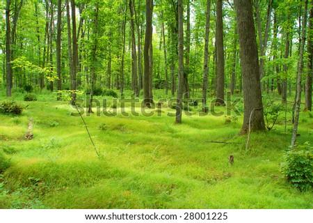 Lush Northwoods Forest - stock photo
