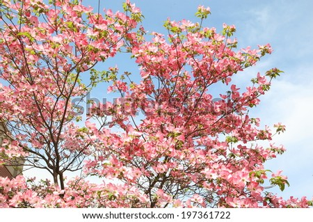 Lush pink Dogwood blossoms - stock photo