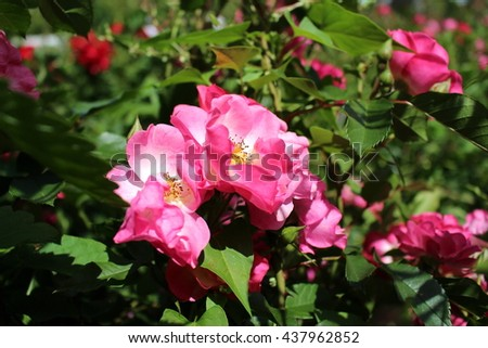 Lush pink eglantine flowers  - stock photo