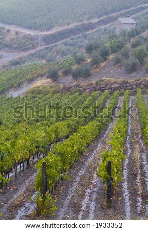 Lush ripe grapes on the vine 09 - stock photo
