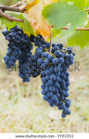 Lush ripe grapes on the vine 12 - stock photo
