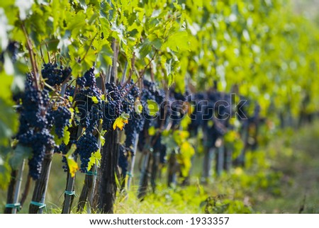 Lush ripe grapes on the vine 14 - stock photo