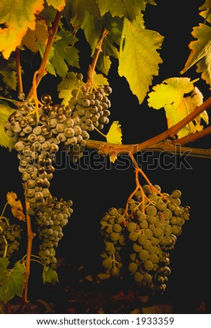 Lush ripe grapes on the vine 16 - stock photo