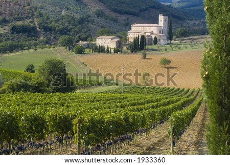Lush ripe grapes on the vine 17 - stock photo