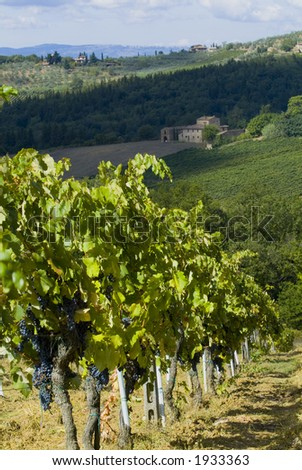 Lush ripe grapes on the vine 20 - stock photo