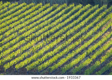 Lush ripe grapes on the vine 24 - stock photo
