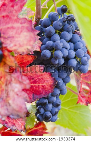 Lush ripe grapes on the vine 31 - stock photo