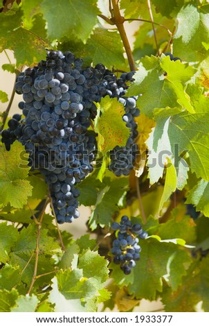 Lush ripe grapes on the vine 34 - stock photo