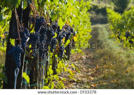 Lush ripe grapes on the vine 35 - stock photo