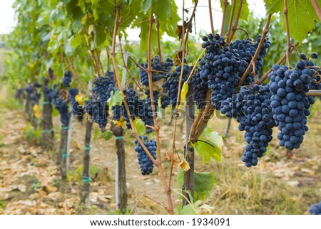 Lush ripe grapes on the vine 53 - stock photo
