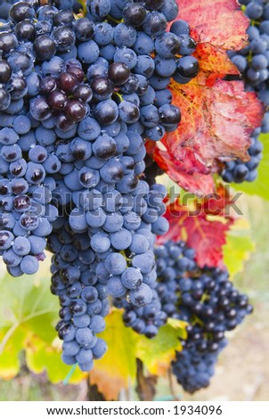 Lush ripe grapes on the vine 58 - stock photo