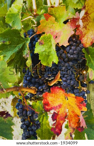 Lush ripe grapes on the vine 61 - stock photo