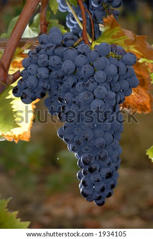 Lush ripe grapes on the vine 67 - stock photo