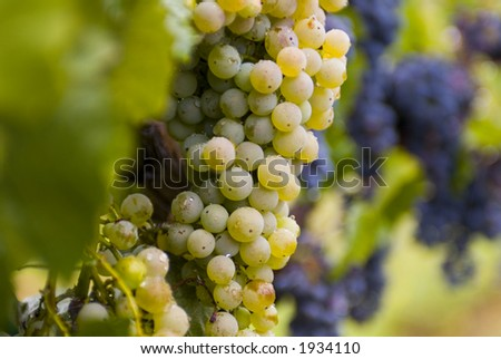 Lush ripe grapes on the vine 72 - stock photo
