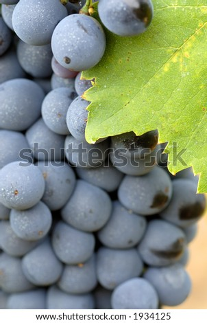 Lush ripe grapes on the vine 87 - stock photo
