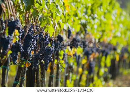 Lush ripe grapes on the vine 92 - stock photo