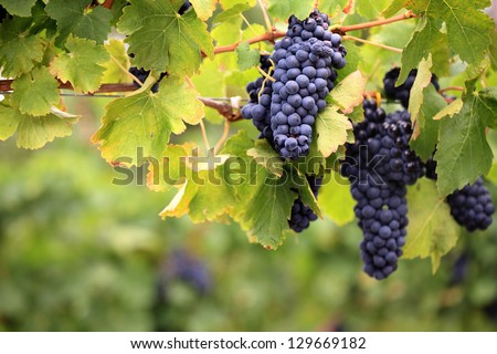 Lush, ripe red wine grapes on the vine with green leaves - stock photo