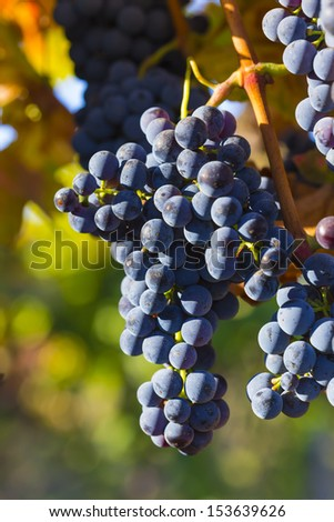 lush ripe wine grapes on the vine in sunlight with colorful blurred background