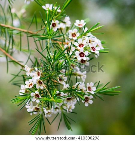 lush twig of myrtle Chamelaucium with  needles and white flowers. Evergreen Myrtaceae. - stock photo