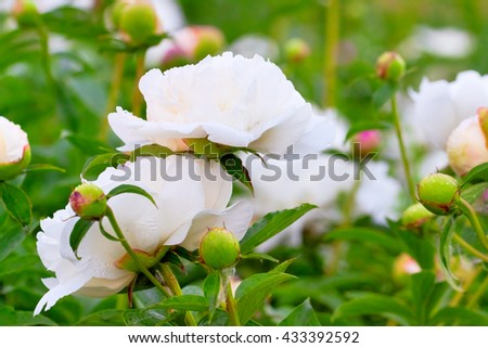 lush white peonies in bloom, summer day - stock photo