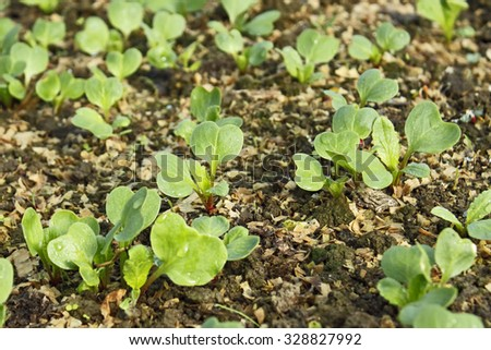 Lush young radish plants in the soil mixed with sawdust in springtime, close-up - stock photo