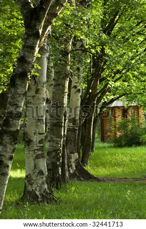 Lushy Birch alley in summer/spring