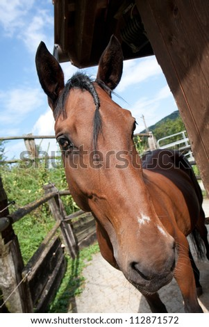 Lusitano Horse, at Barockpferdetag, Aeurgental, Switzerland - stock photo