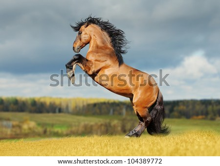 lusitano rears in the field - stock photo