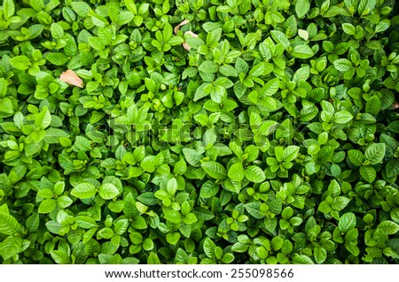Lxora or West Indian Jasmine Green Leaves background - stock photo
