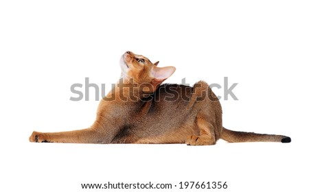 lying abyssinian cat on the floor looking up