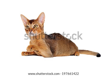 lying abyssinian cat showing his paw