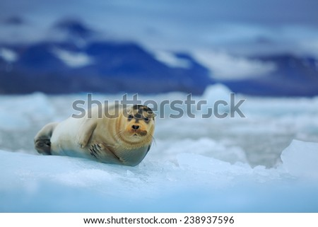 Lying Bearded seal on ice in arctic Svalbard - stock photo