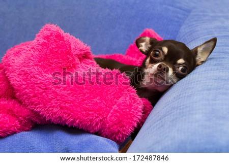 lying Chihuahua - stock photo