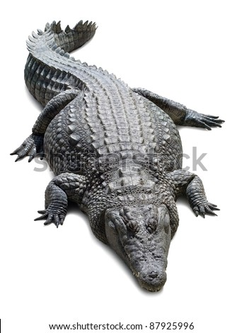 Lying crocodile isolated on white background with shadows - stock photo