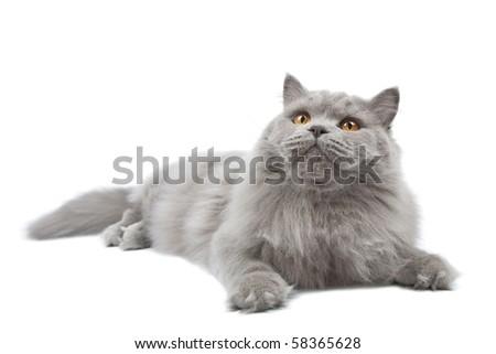 lying cute british cat isolated - stock photo