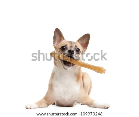 Lying doggy keeps bone in the teeth, isolated on white