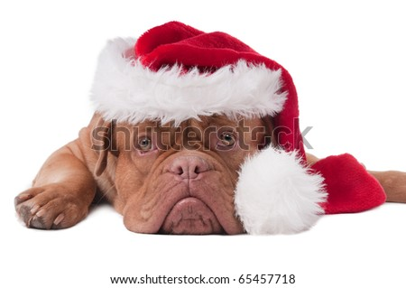 Lying Dogue de bordeaux with red Santa hat - stock photo