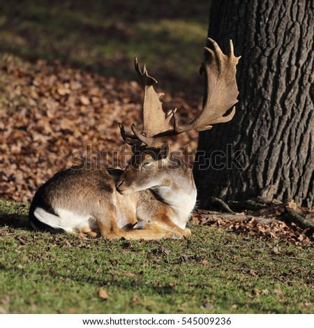 Lying fallow deer (Dama dama) - portrait in autumn sunlight.