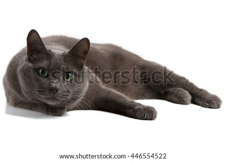 Lying gray cat with green eyes, Russian blue cat - stock photo