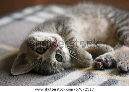 Lying kitten - stock photo